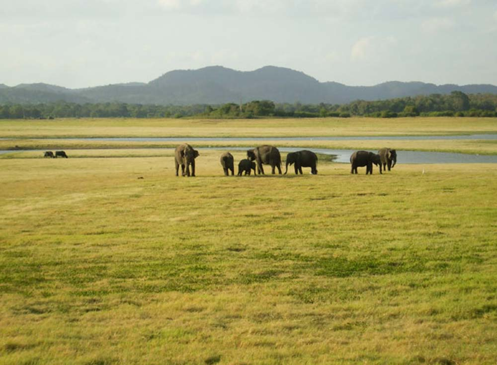 wasgamuwa-national-park-elephants