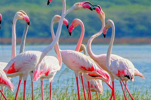 Flamingoes at Kumana National Park