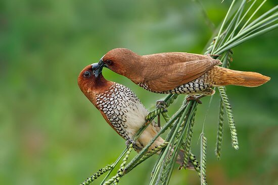 Spotted Munia at Kumana National Park
