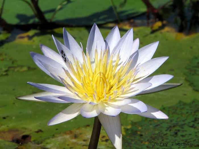 Manel Flower - New National Flower of Sri Lanka - Water Lilly